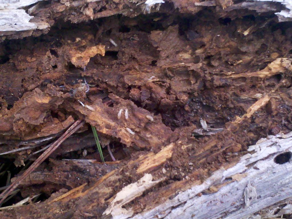 Www lamarabunta org ver tema problema con termitas - Acabar con las termitas ...