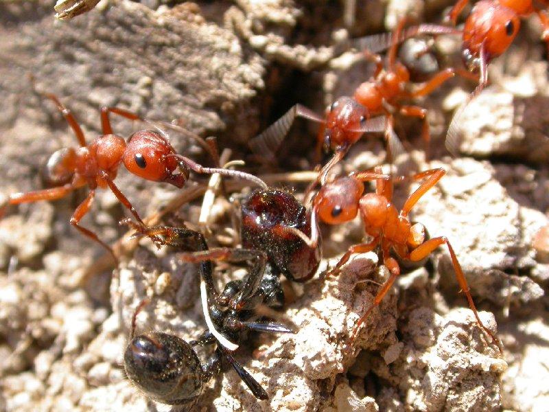 Resultado de imagen para Hormigas rojas