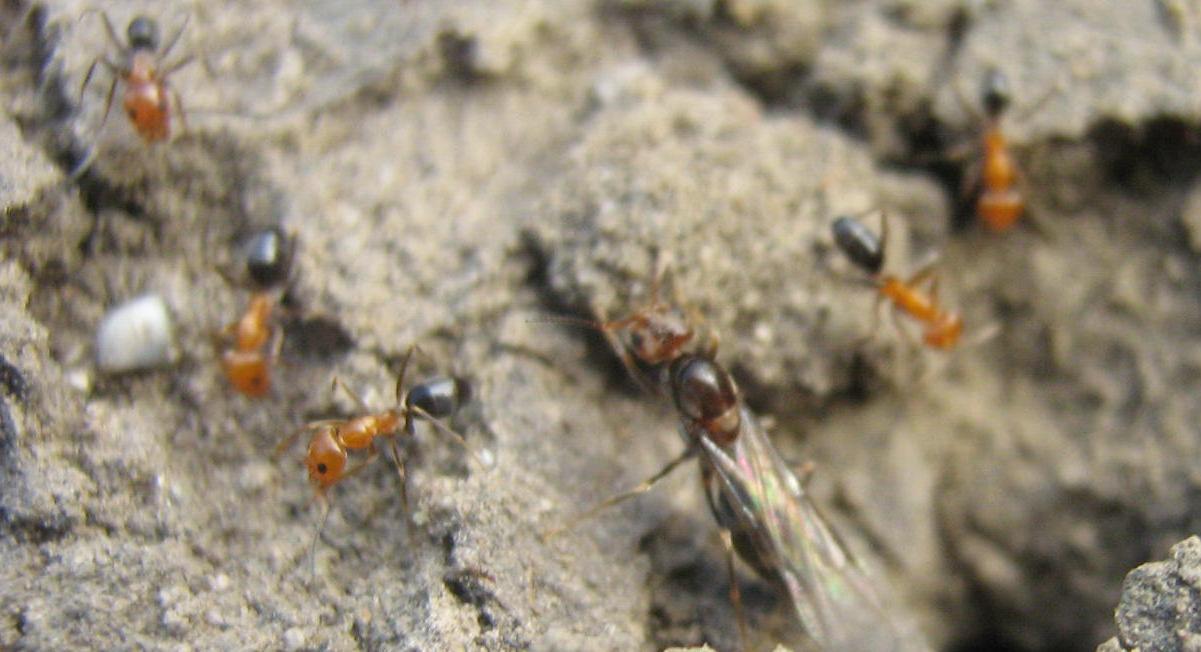 Www lamarabunta org ver tema hormigas en lima peru for Hormigas en el jardin