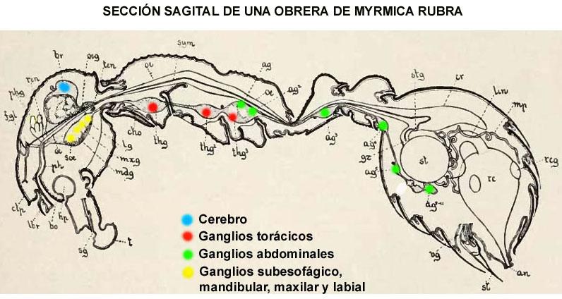 WWW.LAMARABUNTA.ORG - • Ver Tema - Tracheliodes quinquenotatus