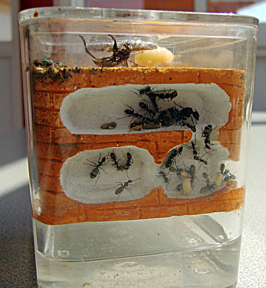 criar hormigas